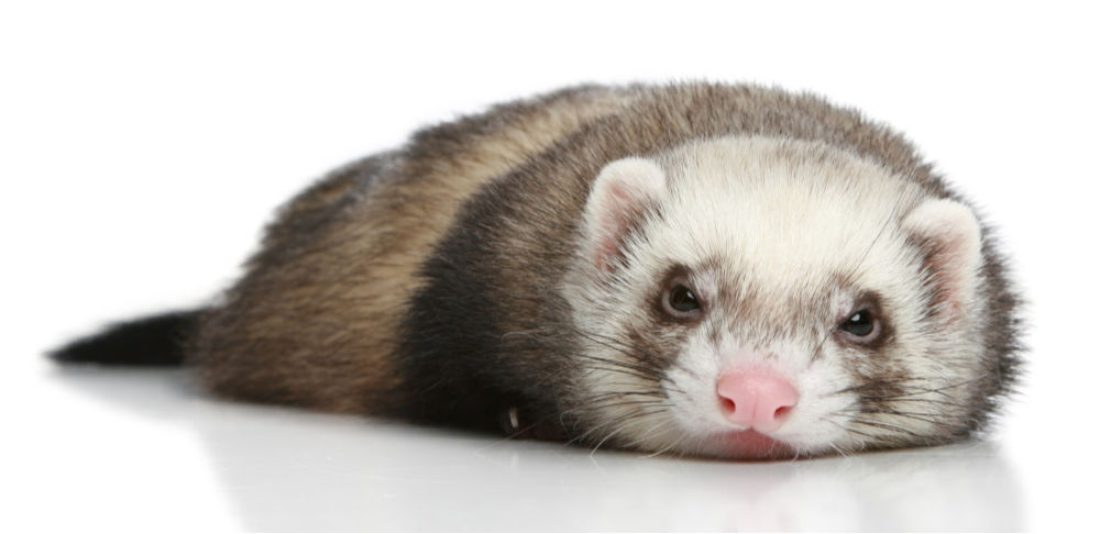 Can A Ferret Be Happy Alone? | Critters Aplenty